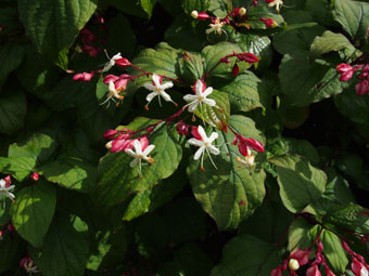 Clerodendrum trichotomum P9134470